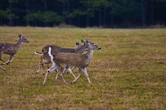 meadow jeleni uciekaj Obrazy Royalty Free