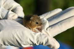 Meadow jumping mouse Royalty Free Stock Photos