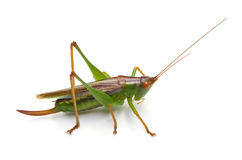 Meadow Katydid Isolated Royalty Free Stock Photography