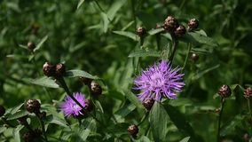 Meadow knapweed. Centaurea jacea flower in the summer field stock video