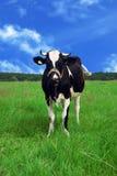 meadow krowy Obraz Stock