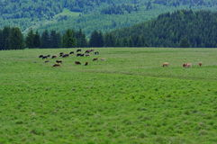 Meadow landscape with cows. Beautiful meadow landscape with grazing cows Royalty Free Stock Photos