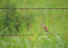 Meadowlark in country Stock Photos