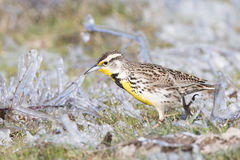 Meadow lark in ice covered sage Stock Image
