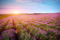 Meadow of lavender Royalty Free Stock Photo