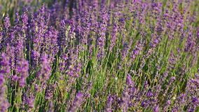 Meadow of lavender. Stock Photos