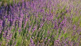 Meadow of lavender. Stock Photography