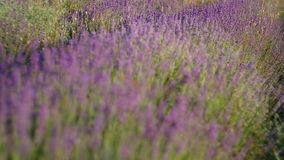 Meadow of lavender. stock video footage