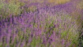 Meadow of lavender. stock footage