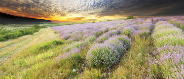 Meadow of lavender. Royalty Free Stock Images