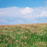 Meadow of lavender. Stock Photo