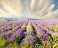 Meadow of lavender Royalty Free Stock Images