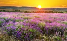 Meadow of lavender. Stock Photos