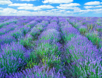 Meadow of lavender Stock Photography