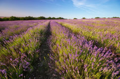 Meadow of lavender. Royalty Free Stock Photo