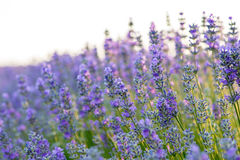 Meadow of lavender. Nature composition. Selective focus. Meadow of lavender. Nature composition Stock Images