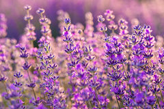 Meadow of lavender. Nature composition. Selective focus. Meadow of lavender. Nature composition Stock Photo