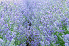 Meadow of lavender. Nature composition. Selective focus. Meadow of lavender. Nature composition Stock Image