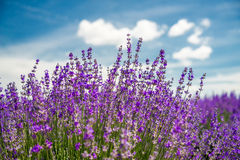Meadow of lavender. Nature composition. Selective focus. Meadow of lavender. Nature composition royalty free stock photography