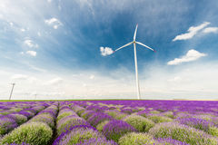 Meadow of lavender. Nature composition. Selective focus. Meadow of lavender. Nature composition Royalty Free Stock Photos