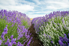 Meadow of lavender. Nature composition. Selective focus. Meadow of lavender. Nature composition Royalty Free Stock Image