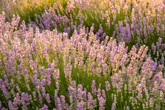 Meadow of lavender. Nature composition. Selective focus. Meadow of lavender. Nature composition Royalty Free Stock Images