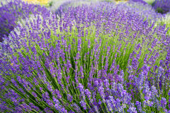 Meadow of lavender. Nature composition. Selective focus. Meadow of lavender. Nature composition Stock Photography