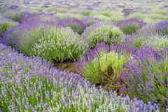 Meadow of lavender. Nature composition. Selective focus. Meadow of lavender. Nature composition stock photos