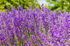 Meadow of lavender. Nature composition. Selective focus. Meadow of lavender. Nature composition royalty free stock photo