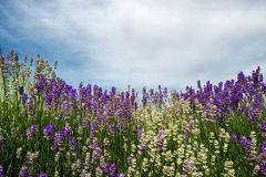 Meadow of lavender. Nature composition. Selective focus. Meadow of lavender. Nature composition. Copy space royalty free stock photo