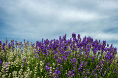 Meadow of lavender. Nature composition. Selective focus. Meadow of lavender. Nature composition. Copy space Stock Photography