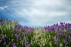 Meadow of lavender. Nature composition. Selective focus. Meadow of lavender. Nature composition. Copy space stock photo