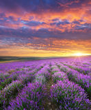 Meadow of lavender. Royalty Free Stock Image