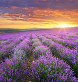 Meadow of lavender. Meadow of lavender on sunrise. Nature composition Stock Photography