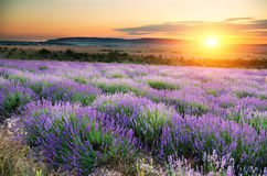 Meadow of lavender Royalty Free Stock Image