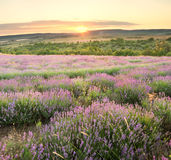 Meadow of lavender. Royalty Free Stock Photography