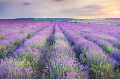 Meadow of lavender on sunset. Stock Images