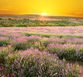 Meadow of lavender. Royalty Free Stock Photos