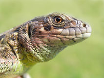 Meadow lizard Royalty Free Stock Photos