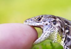 Meadow lizard Stock Photo