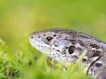 Meadow lizard Stock Image
