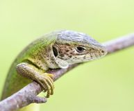 Meadow lizard Royalty Free Stock Image