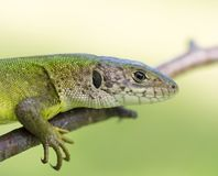 Meadow lizard Stock Image