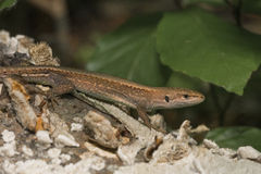 Meadow lizard Royalty Free Stock Images