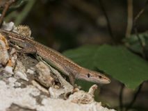 Meadow lizard royalty free stock photo