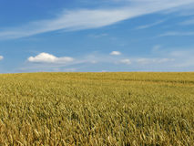 Meadow with lot of crop Royalty Free Stock Photo