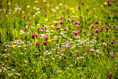Meadow with a lot of flowers Stock Images