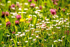 Meadow with a lot of flowers Stock Photo