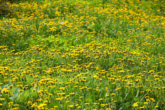 Meadow with lots of blooming dandelions Stock Photography