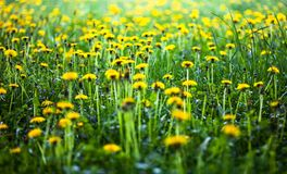 Meadow with lots of blooming yellow dandelions Stock Photo